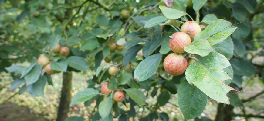 Pommes pour les cidres en juillet
